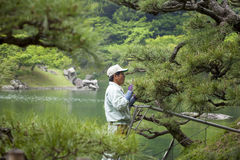 Pruning a Pine Tree in Japanese Garden Stock Photography