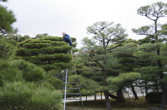 Pruning of pine trees in Japan Stock Image