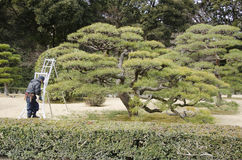 Pruning of pine trees in Japan Royalty Free Stock Photography