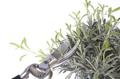 Pruning the plants Stock Image