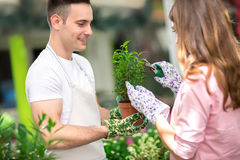 Pruning plants in greenhouse Royalty Free Stock Image