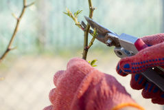 Pruning plants Royalty Free Stock Image