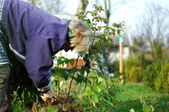 Pruning raspberry bushes with a knife. Woman bends down and cut raspberry bushes with a knife Stock Photography