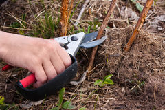 Pruning raspberry with secateurs Stock Photography