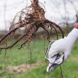 Pruning Root Seedlings Before Planting Stock Photos