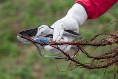 Pruning root seedlings before planting Royalty Free Stock Photos