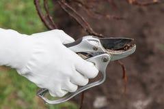 Pruning root seedlings before planting Stock Images