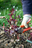 Pruning rose. Rose plant cutting in early spring time Stock Photo