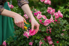 Pruning rose in garden. Pruning the bush & x28;rose& x29; with secateur in the garden Stock Photos