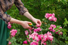 Pruning rose in garden. Girl prune the  bush & x28;rose& x29; with secateur in the garden Stock Image