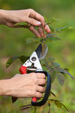 Pruning rose with secateurs, closeup Royalty Free Stock Photography
