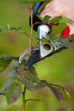 Pruning rose with secateurs Royalty Free Stock Images