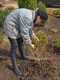 Pruning the rose Stock Photo
