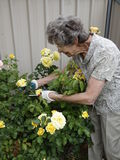 Pruning Roses Stock Image
