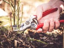 Free Pruning Shear Cutting Rose Branch Royalty Free Stock Photos - 137644008