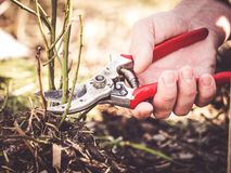 Pruning shear cutting rose branch. How to use a pruning shear to cut a rose branch royalty free stock photos