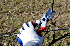 Pruning Shears clipping grape vine plant Royalty Free Stock Image