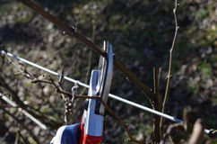 Pruning Shears clipping grape vine plant Stock Image