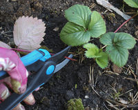 Pruning shears old leaves of strawberry. stock photo