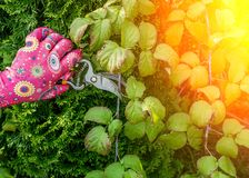 pruning with shears royalty free stock images