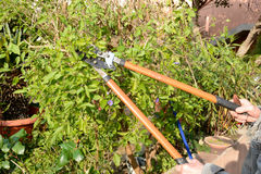 Pruning of a shrub Stock Photos