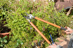 Pruning of a shrub Stock Image
