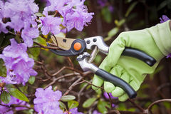 Pruning shrubs Royalty Free Stock Photography