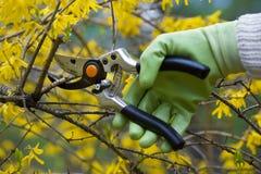 Pruning shrubs Royalty Free Stock Images