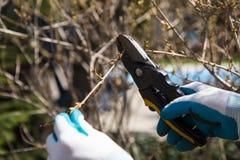 Pruning shrubs Stock Photo