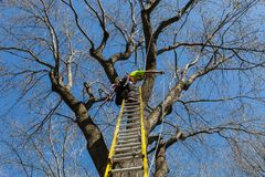 Pruning a tall maple tree stock photos