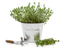 Pruning Thyme Herb Plant Royalty Free Stock Image