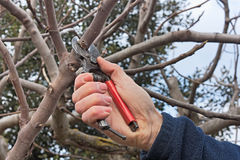 Pruning tree. Pruning a tree, agricultural winter work - a pruner cutting a branch with shears Royalty Free Stock Photo