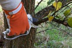 Pruning tree. Pruning fruit trees by pruning shears Stock Photos