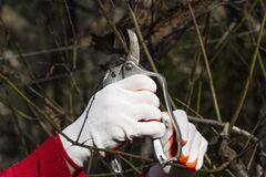 Pruning tree in bright red gloves. Pruning in bright red and white gloves Stock Images