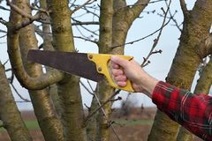 Agriculture, pruning in orchard, farmers hand and tool. Pruning tree in orchard, closeup of hand and handsaw tool Royalty Free Stock Photo