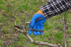 Agriculture, pruning in orchard. Pruning tree in orchard, closeup of hand and tool Stock Images