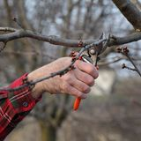 Agriculture, pruning in orchard. Pruning tree in orchard, closeup of hand and tool Royalty Free Stock Photos