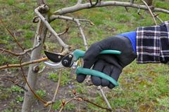 Agriculture, pruning in orchard. Pruning tree in orchard, closeup of hand and tool Stock Photography