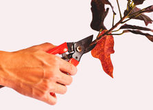Pruning of the trees Royalty Free Stock Photo