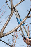 Pruning trees Stock Photography