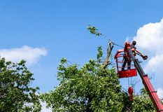 Pruning trees and sawing a man with a chainsaw, a man at high altitude between the branches of an old large tree. Pruning trees and sawing a man with a chainsaw royalty free stock photo