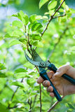 Pruning of  trees with secateurs. In the garden Stock Images