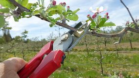Pruning of trees with secateurs in apple orchard Stock Photo
