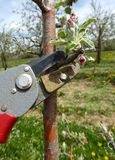 Pruning of trees with secateurs in apple orchard Royalty Free Stock Images