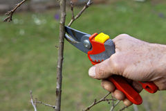 Pruning of trees with secateurs. In the garden Royalty Free Stock Photos