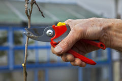Pruning of trees with secateurs Royalty Free Stock Image