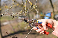 Pruning of trees with secateurs in the garden Royalty Free Stock Photography