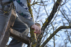 Pruning of trees with secateurs in the garden Stock Photos