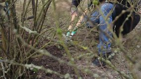 Pruning Trees and shrubs. Man with garden scissors cuts branch bushes and grape hedge. The season of spring works. HD quality stock footage