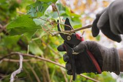 Pruning the vine. In the garden caring for plants in the garden royalty free stock image